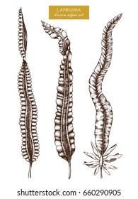 Ink hand drawn laminaria sketch (sweet sea tangle japan kelp alaria) set  sc 1 st  Shutterstock & Noria Stock Vectors Images u0026 Vector Art   Shutterstock