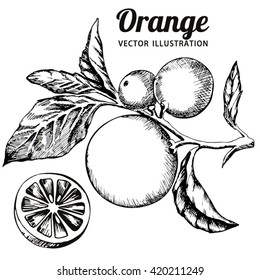 Ink hand drawn orange isolated on white background. Vector illustration of highly detailed citrus fruits.