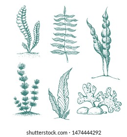 ink hand drawn seaweed collection. various underwater sea plants and algae. Vintage collection of vector engraved marine plants and seaweed. sketch silhouettes of algae. Aquarium plants collection.