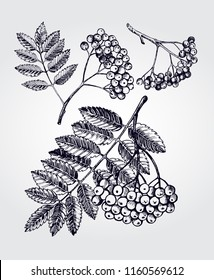 Ink hand drawn set of bunch of rowan berries with leaves. Autumn elements collection. Vector illustration.
