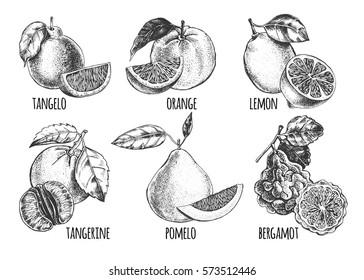 Ink hand drawn set of different kinds of citrus fruits - tangelo, orange, lemon, tangerine, pomelo, bergamot. Food elements collection for design, Vector illustration.