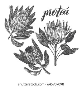 Ink hand drawn set of exotic protea flowers. Botanical elements collection for design, Vector illustration.