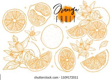 Ink hand drawn set of orange fruit. Food element collection. Vintage sketch. Color outline. Vector illustration