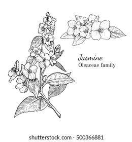 Ink jasmine herbal illustration. Hand drawn botanical sketch style. Absolutely vector. Good for using in packaging - tea, condinent, oil etc - and other applications