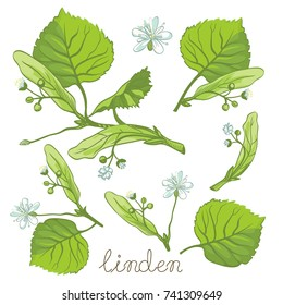 Ink linden herbal illustration. Hand drawn botanical sketch style. Vector illustration. Good for using in packaging - tea, oil, cosmetics etc.