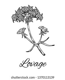 Ink Lovage flower. Hand drawn sketch of Levisticum officinale. Medicinal herb and spice, flowers with leaves.Stylish monochrome black and white sketch. Vector illustration isolated on white background