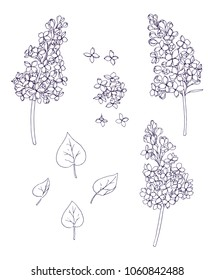 Ink, pencil, black and white branches of lilac sketch.Transparent background. Hand drawn nature painting. Freehand sketching illustration.