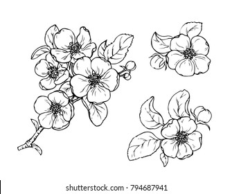 Ink, pencil, black and white flower sketch.Transparent background. Hand drawn nature painting. Freehand sketching illustration.