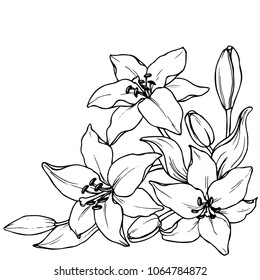 Ink, pencil,  the  flowers of Lily isolate. Line art transparent background. Hand drawn nature painting. Freehand sketching illustration.
