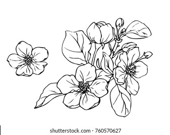 Ink, pencil,  the leaves and flowers of apple isolated. Line art transparent background. Hand drawn nature painting. Freehand sketching illustration.