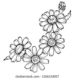 Ink, pencil,  the leaves and flowers of Daisy isolate. Line art transparent background. Hand drawn nature painting. Freehand sketching illustration.
