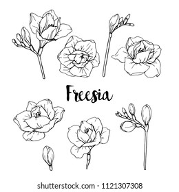 Ink, pencil,  the leaves and flowers of Freesia isolate. Line art transparent background. Hand drawn nature painting. Freehand sketching illustration.