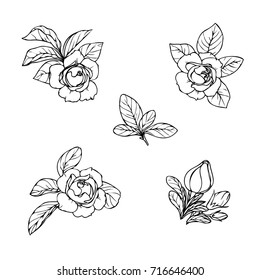 Ink, pencil,  the leaves and flowers of Gardenia isolate. Line art transparent background. Hand drawn nature painting. Freehand sketching illustration.
