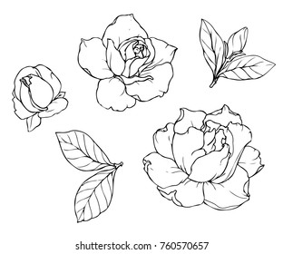 Ink, pencil,  the leaves and flowers of  gardenia isolated. Line art transparent background. Hand drawn nature painting. Freehand sketching illustration.