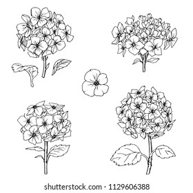 Ink, pencil,  the leaves and flowers of Hydrangea isolate. Line art transparent background. Hand drawn nature painting. Freehand sketching illustration.