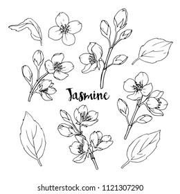 Ink, pencil,  the leaves and flowers of jasmine  isolate. Line art transparent background. Hand drawn nature painting. Freehand sketching illustration.
