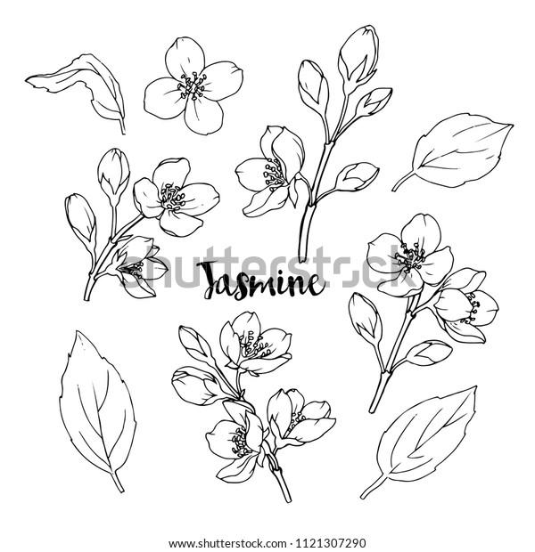 Чернила, карандаш, листья и цветы жасмина изолировать. Линия искусства прозрачный фон. Ручная рисованная природа живопись. Свободная рука эскиз иллюстрации.
