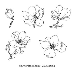 Ink, pencil,  the leaves and flowers of Magnolia isolated. Line art transparent background. Hand drawn nature painting. Freehand sketching illustration.