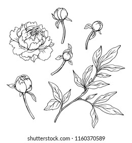 Ink, pencil,  the leaves and flowers of peonies isolate. Line art transparent background. Hand drawn nature painting. Freehand sketching illustration.