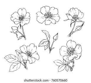 Ink, pencil,  the leaves and flowers of wild rose isolate. Line art transparent background. Hand drawn nature painting. Freehand sketching illustration.