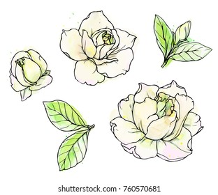 Ink Pencil Leaves Flowers Gardenia Isolate Stock Vector Royalty