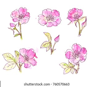 Ink, pencil, watercolor wild rose sketch. Line art background. Hand drawn nature painting. Freehand sketching illustration. Ink wash painting