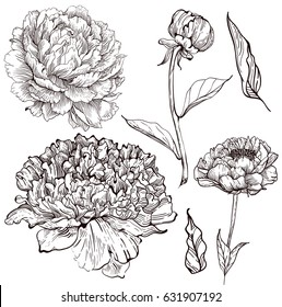 Ink peony set with flowers and leaves, Vector