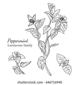 Ink peppermint herbal illustration. Hand drawn botanical sketch style. Absolutely vector. Good for using in packaging - tea, condinent, oil etc - and other applications