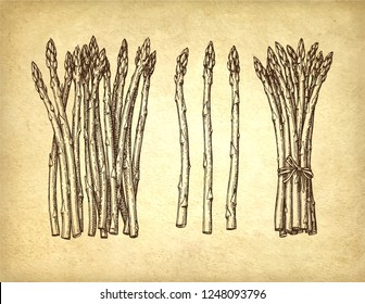 Ink sketch of asparagus. Hand drawn vector illustration on old paper background. Retro style.