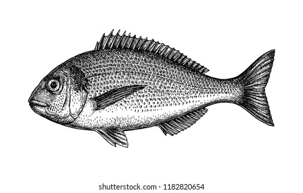 Ink sketch of gilt-head sea bream. Hand drawn vector illustration of fish isolated on white background. Retro style.