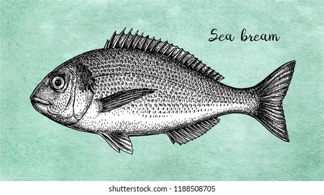 Ink sketch of gilt-head sea bream. Hand drawn vector illustration of fish on old paper background. Retro style.