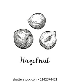 Ink sketch of hazelnut. Hand drawn vector illustration. Isolated on white background. Retro style.