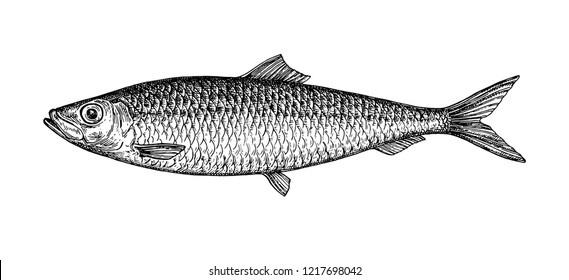 Ink sketch of herring. Hand drawn vector illustration of fish isolated on white background. Retro style.