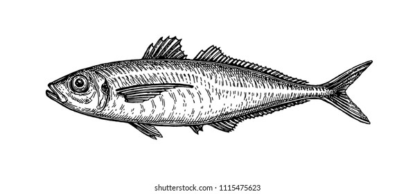 Ink sketch of horse mackerel. Hand drawn vector illustration of fish isolated on white background. Retro style.