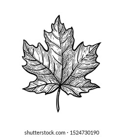 Ink sketch of maple leaf. Hand drawn vector illustration isolated on white background. Retro style.
