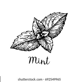 Ink sketch of mint. Isolated on white background. Hand drawn vector illustration. Retro style.