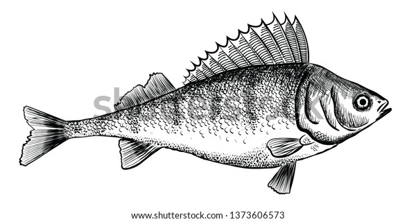 Ink sketch of perch (bass). Hand drawn illustration of river perch. Vector