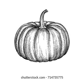 Ink sketch of pumpkin isolated on white background. Hand drawn vector illustration. Retro style.