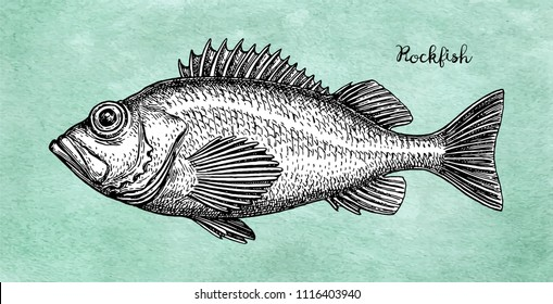 Ink sketch of rockfish. Hand drawn vector illustration of redfish on old paper background. Retro style.