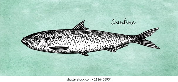 Ink sketch of sardine. Small herring. Hand drawn vector illustration of fish on old paper background. Retro style.