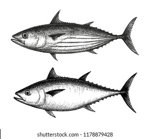 Ink sketch of Skipjack and Atlantic bluefin tuna. Hand drawn vector illustration of fish isolated on white background. Retro style.