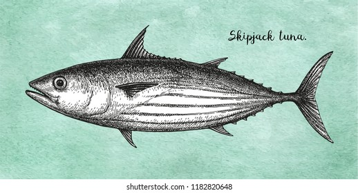 Ink sketch of skipjack tuna. Hand drawn vector illustration of fish on old paper background. Retro style.