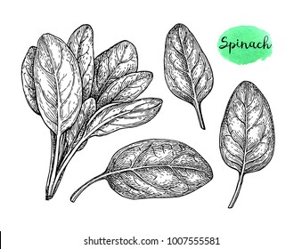 Ink sketch of spinach. Isolated on white background. Hand drawn vector illustration. Retro style.