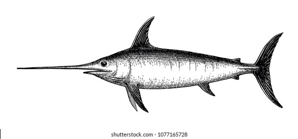 Ink sketch of swordfish. Hand drawn vector illustration isolated on white background. Retro style.