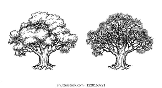 Ink sketch of two oaks. Winter and summer tree. Hand drawn vector illustration isolated on white background. Retro style.