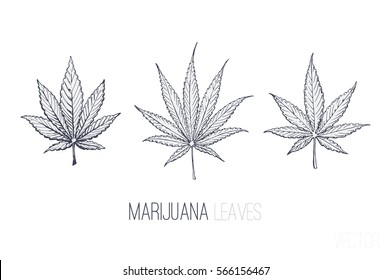 ink sketches of marijuana leaves. isolated vector illustration. weed - indica & sativa. 4 design of medical packaging, T-shirts, notepads, menus in coffeeshops