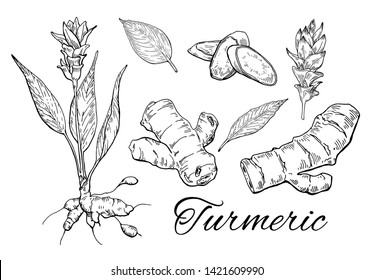 Ink Turmeric hand drawn set. Flower with root. Curcuma root, flower, leaves and sliced pieces. Vintage botanical art. Retro culinary sketch. Herbal vector illustration isolated on white background