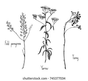 Ink vector illustration of three herbs: pennycress, yarrow, tansy.
