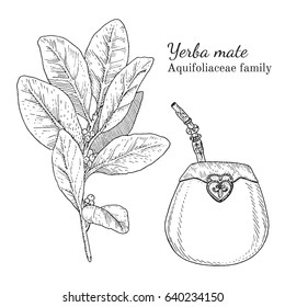 Ink yerba mate herbal illustration. Hand drawn botanical sketch style. Absolutely vector. Good for using in packaging - tea, condinent, oil etc - and other applications