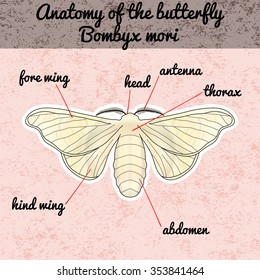 Insect anatomy. Sticker butterfly Bombyx mori.  Vector illustration
